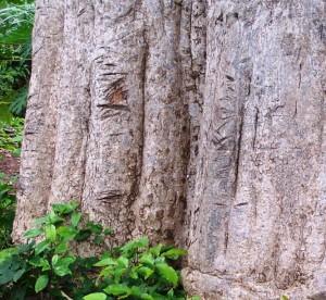 Tronc de baobab moyen